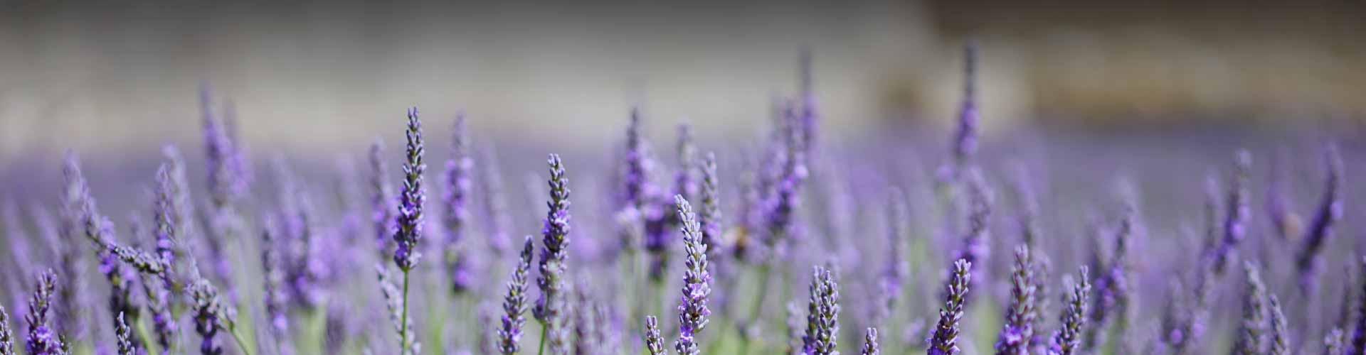 Lavendel | Wellness Kosmetik-Studio Stettfurt Frauenfeld